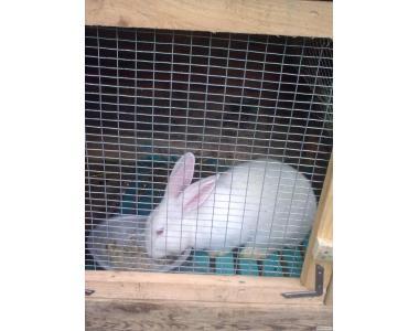 Продам кроликов, Класс ЭЛИТА