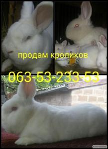 Кролики Новзеландские Белые