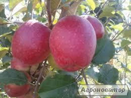 Саджанець яблуні Синап Алматинський