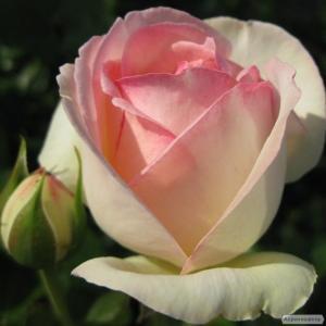 Саджанці троянд. Роза Еден Роуз.