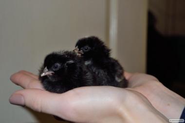 Суточные цыплята Доминант