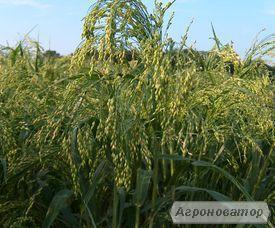 Агроцентр насіння пропонує посівний матеріал проса
