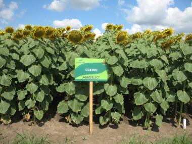 Кодру , рекордный урожай , устойчив к полеганию