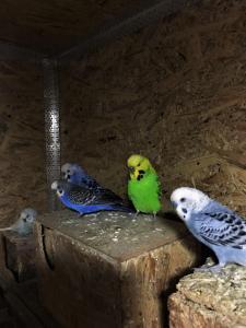 Волнистые попугаи молодняк