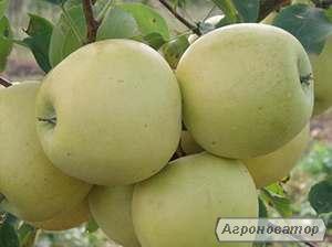 Яблоня голден делишес рейндерс (однорічні та дворічні)