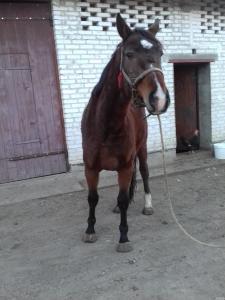 Продам лошадь украинской верховой породы.