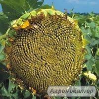 насіння соняшнику Бонд