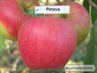 Саджанцы яблуни сорт Пинова