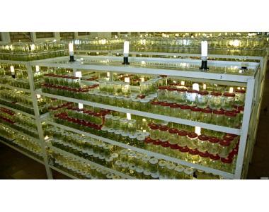 Безвирусные саженцы  in vitro !