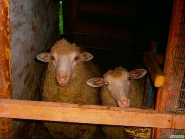 Продам пару.баран и овца.