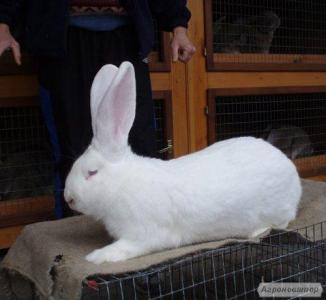 продам кролик белый великан