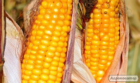 кукуруза Вакула (ФАО 250) / Высокоурожайный гибрид кукурузы