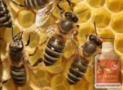 Энтеронормин (пробиотик) для пчел ТОВ САКС