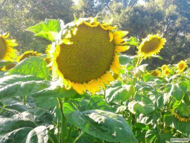 Семена подсолнуха «Рими» под евролайтинг.