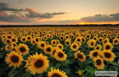 Закуповуємо Ваш урожай соняшнику кондитерського 2017 року