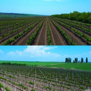 Домашнее натуральное  вино  из столовых сортов винограда