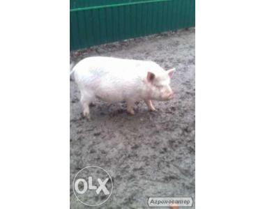 продам свинку статевозрілу вік 6 місяців на розлучення або на м'ясо