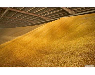 Срочно продам кукурузу фуражную повышена влаги в об