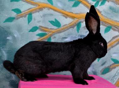Подам кроликов разнообразных пород великанов