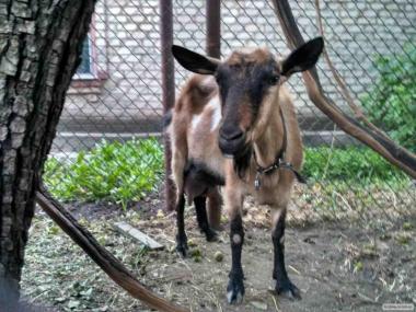 Продам козу дійну (Альпійська) 3-5 л