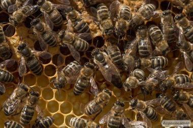 Продаю трудолюбивых пчел