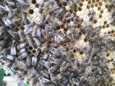 Пчеломатки Карпатки Вучківка 2018