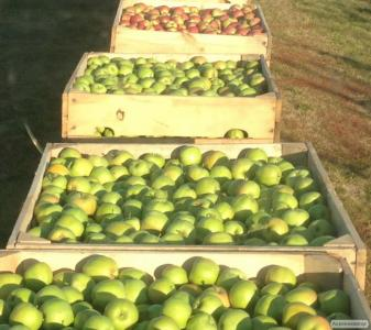 Яблука різних сортів