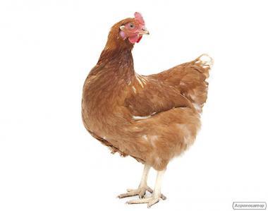 Річна птиця (курка) на забій
