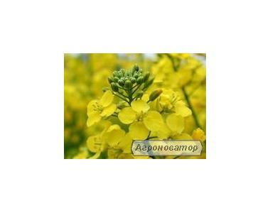 Семена подсолнечника от производителя (Внис, Запорожский 28 Армагедон)