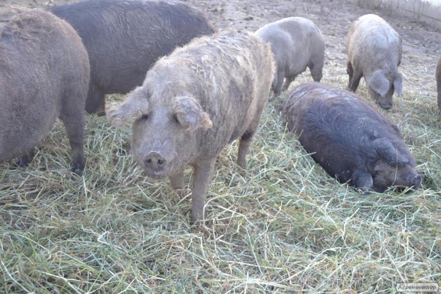 Свиньи породы Мангалица (органические)