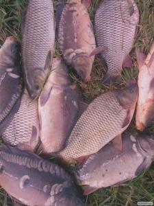 Продам товарну прісноводну рибу