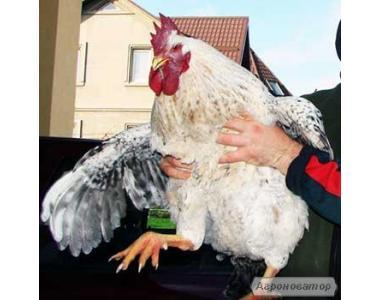 Цыплята пород Мастер Грей, Испанка, Голошейка, суточные и подросток.