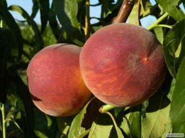 Саженцы персика сорта Харроу Даймонд, от производителя