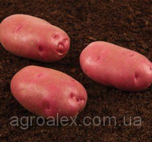 Семена картофеля Торнадо 1р 16грн/кг