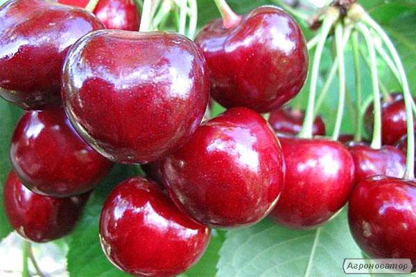 Саджанці черешні сорту Регіна, відмінної якості від виробника