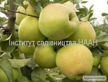 Продам сортове яблуко з молодого саду