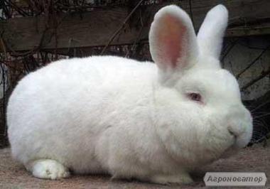 Продам Племенные кролики НЗБ(Новозеландские Белые)