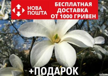 Магнолия кобус семена 10 шт (Magnolia kobus) для саженцев насіння