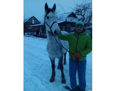 Продам коня Орловського рисака
