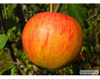 Саженцы яблони сорта Пинова , от производителя, отличного качества