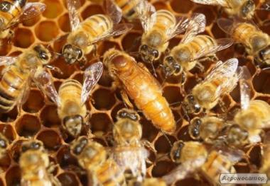 Пчелиные матки Бакфаст и Кордован