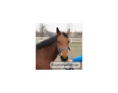 Верховая лошадь.