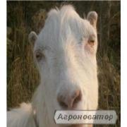 Молоко козье от элитных пород коз продам, Одесская обл.