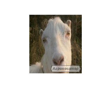 Молоко козине від елітних порід кіз продам, Одеська обл.