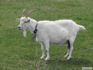 Продам недорого молодых дойных коз молочной породы