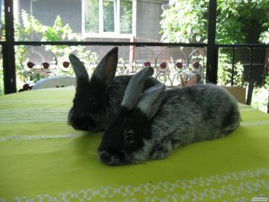 Кролики полтавське та європейське срібло