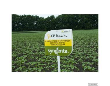 Семена подсолнечника СИ Кадикс (Syngenta)