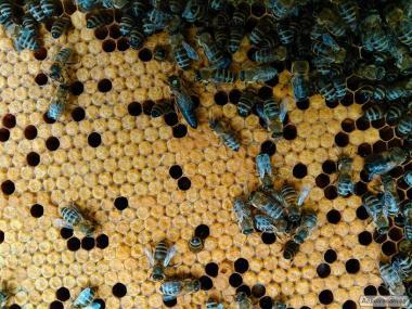 пчелопакеты, карпатская порода.
