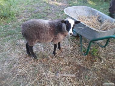 Продам вівці Романівської породи