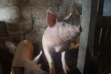 М'ясо свинина домашня